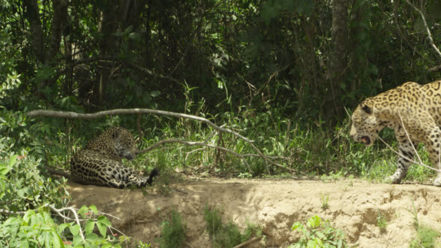 pair of jaguars (panthera onca) mate near bushes. - colour image stock videos & royalty-free footage