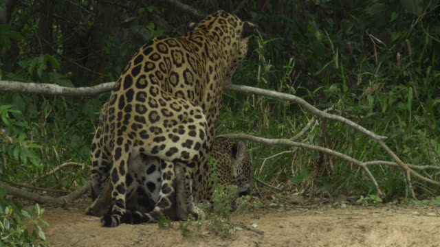 pair of jaguars (panthera onca) mate near bushes. - human copulation stock videos and b-roll footage