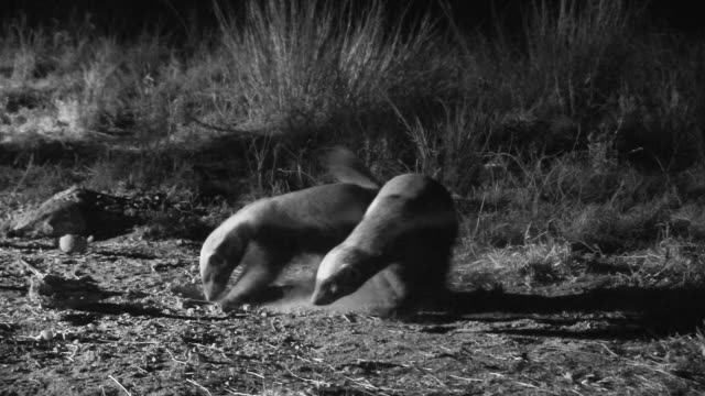 Pair of juvenile honey badgers roll around together.