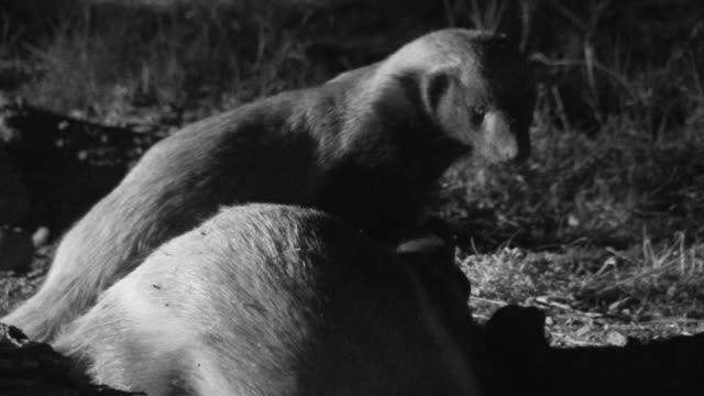 Pair of juvenile honey badgers snarl and wrestle with each other.