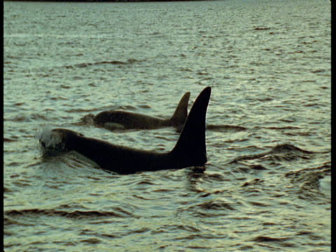 a pair of killer whales porpoise in choppy water near norway. - rückenflosse stock-videos und b-roll-filmmaterial