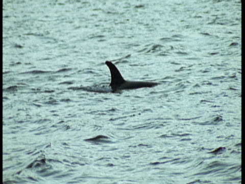 stockvideo's en b-roll-footage met a pair of killer whales swim together on the surface of the ocean near norway. - rugvin