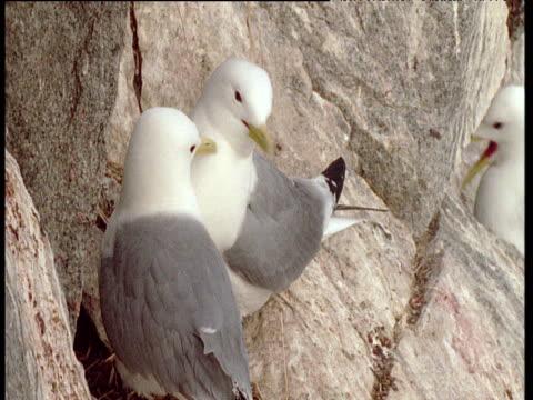 vídeos de stock, filmes e b-roll de pair of kittiwakes on ledge, talan island - peitoril de janela