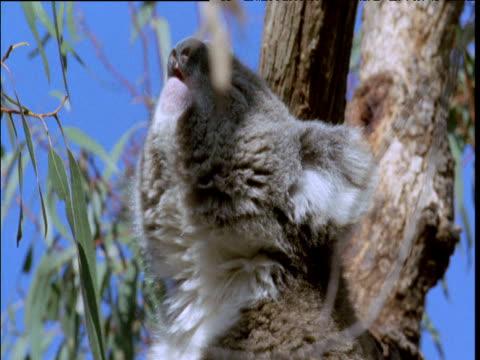 pair of koalas begin violent courtship, australia - human sexual behaviour stock videos & royalty-free footage