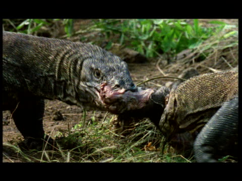 a pair of komodo dragons feast on a dead animal. - reptile stock videos & royalty-free footage