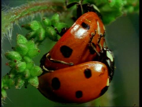 bcu pair of ladybird beetles mating, england - pair stock videos and b-roll footage
