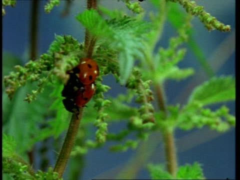 cu pair of ladybird beetles mating on nettle, england - nettle stock videos & royalty-free footage