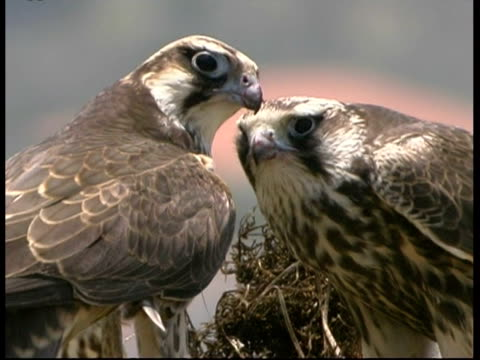 cu pair of lanner falcon on nest feeding, israel - twin stock videos & royalty-free footage