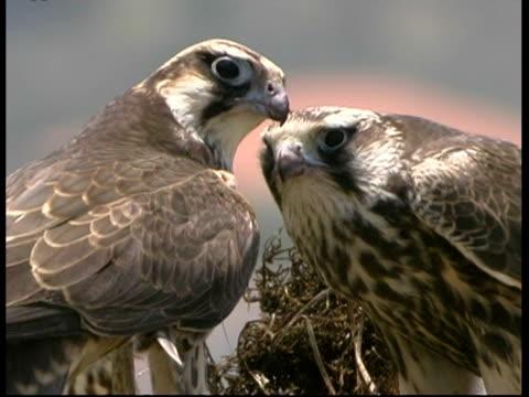 cu pair of lanner falcon on nest feeding, israel - pair stock videos & royalty-free footage