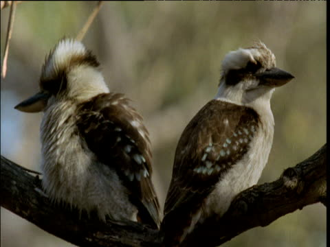 Pair of laughing kookaburras rest on branch, Victoria, Australia