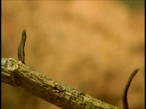 bcu pair of leeches standing upright on thorny branch, western ghats, india - 吸血性点の映像素材/bロール