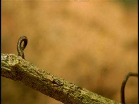 cu pair of leeches standing upright on thorny branch, western ghats, india - 吸血性点の映像素材/bロール