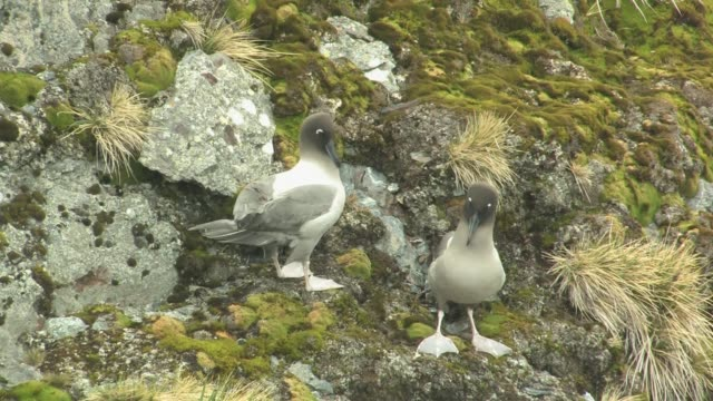 vídeos de stock e filmes b-roll de ms, pair of light-mantled sooty albatross (phoebetria palpebrata) on rocky hill, south georgia island, falkland islands, british overseas territory - ilha geórgia do sul