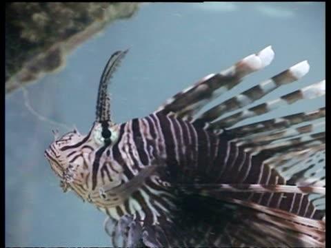 pair of lionfish, hunting small shoal of fish by jetty, mabul, borneo, malaysia - drachenkopf stock-videos und b-roll-filmmaterial
