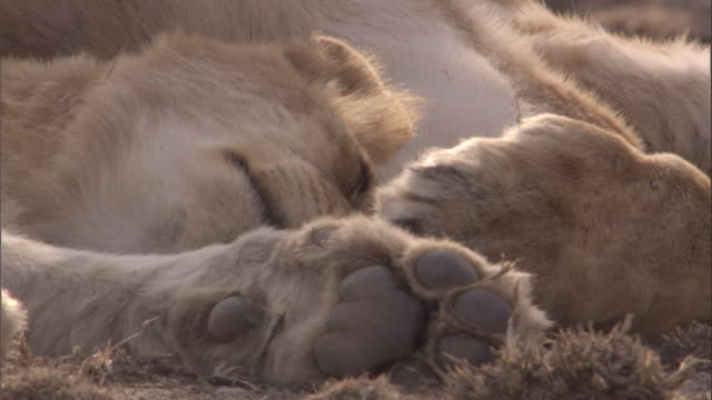Pair of lions sleeping on savannah. Available in HD