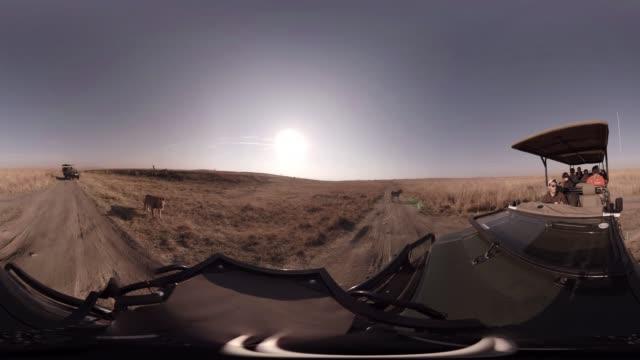 vídeos de stock, filmes e b-roll de pair of lions walk past a tourist jeep in south africa. - moving past