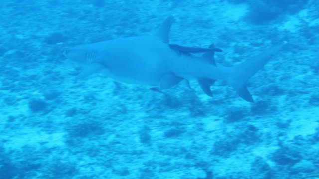 vídeos de stock, filmes e b-roll de pair of live sharksuckers that have attached themselves to a whitetip reef shark - rêmora