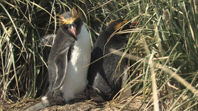 MS, Pair of macaroni penguins (Eudyptes chrysolophus) at nest in tall grass, South Georgia Island, Falkland Islands, British overseas territory