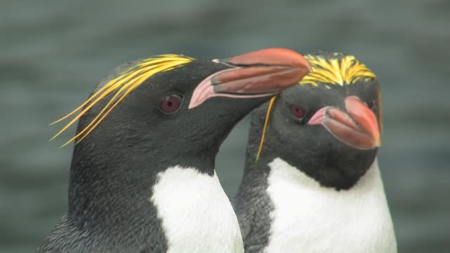CU, Pair of macaroni penguins (Eudyptes chrysolophus), water blurred in background, headshot, South Georgia Island, Falkland Islands, British overseas territory