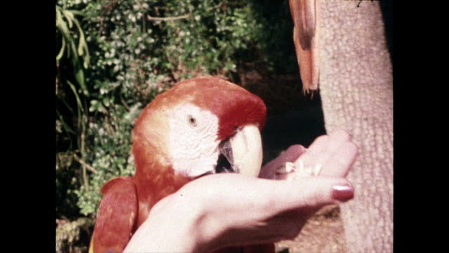 pair of macaws in captivity in miami; 1980 - adults only videos stock videos & royalty-free footage