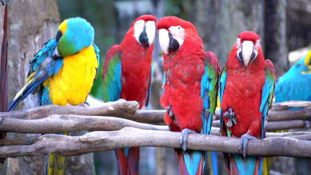 pair of macaws perching on a branch - scarlet macaw stock videos and b-roll footage