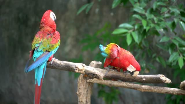 vidéos et rushes de paire de perroquets se percher sur une branche - bouche des animaux