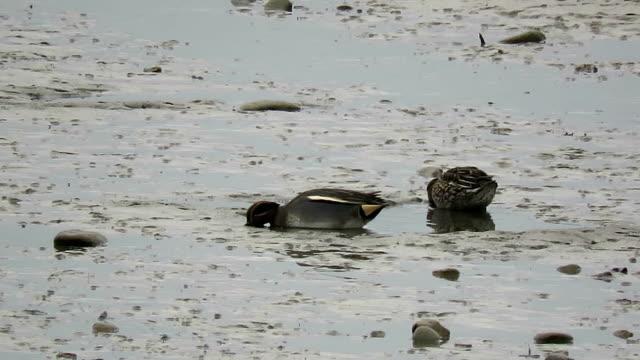 一緒に餌を与える男性と女性ユーラシア teals アヒルのペア - 鳥 カモ点の映像素材/bロール