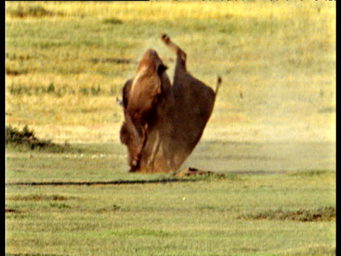 Pair of male bison crash heads together and rut on prairie, one tumbles over, North Dakota