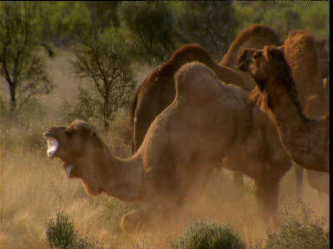 Pair of male dromedary camels fight in outback, one scoops the other's hind legs off the ground, Northern Territory, Australia