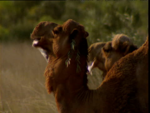 pair of male dromedary camels slaver and display inflatable dewlaps to attract females, northern territory, australia - stray animal stock videos & royalty-free footage