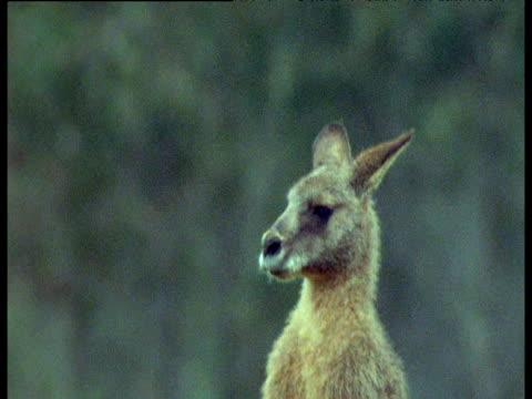 pair of male gray kangaroos fight and spar, australia - 暴力点の映像素材/bロール