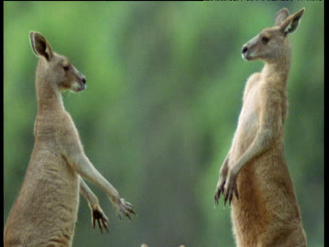 pair of male grey kangaroos box and spar, australia - 攻撃的点の映像素材/bロール