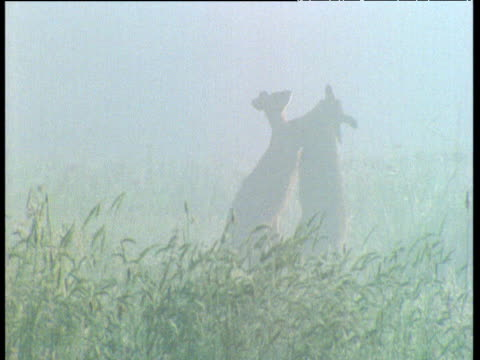 pair of male grey kangaroos box and spar in misty meadow, australia - 戦い点の映像素材/bロール