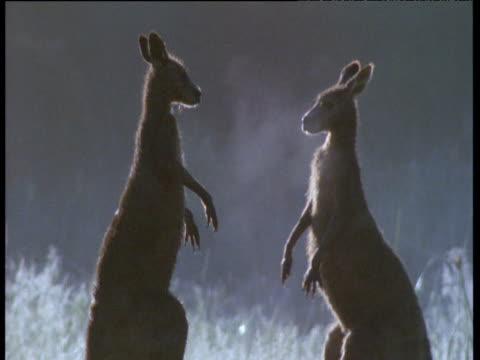 Pair of male grey kangaroos box and spar in misty meadow, Australia