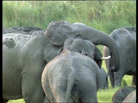Pair of male Indian Elephants, affectionate play-fighting, surrounded by herd grazing, India