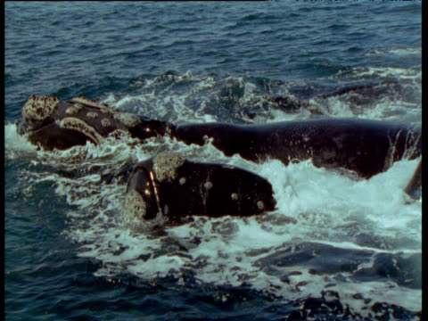 Pair of male southern right whales attempt to roll female over as they try to mate with her, Patagonia