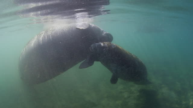 A Pair of Manatees Gently Playing