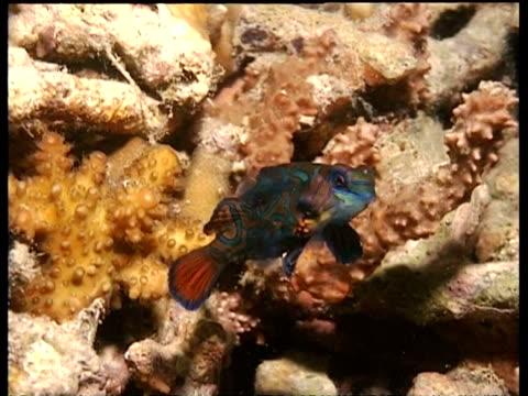 cu pair of mandarin fish mating, swimming upward together then darting down, mabul, borneo, malaysia - animal markings stock videos & royalty-free footage