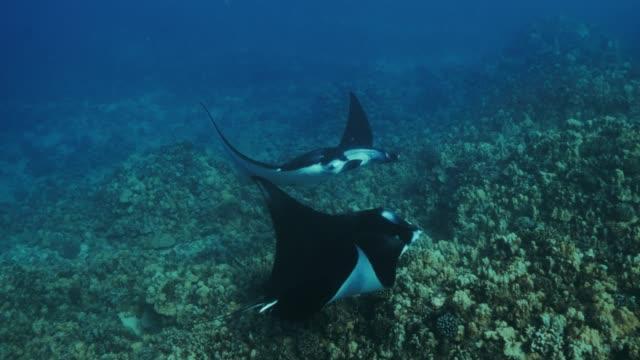 pair of manta rays - hawaii islands stock videos & royalty-free footage
