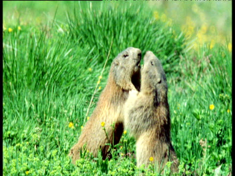 Pair of marmots wrestle in alpine meadow, Switzerland