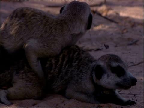 CU pair of Meerkats, Suricata suricatta, mating, Kuruman River Reserve, South Africa