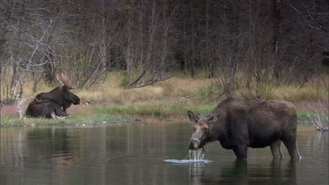 Pair of moose (Alces alces) in lake, Yellowstone, USA