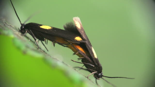 stockvideo's en b-roll-footage met a pair of moth (scythris sinensis) on the branch in mating season - voelspriet