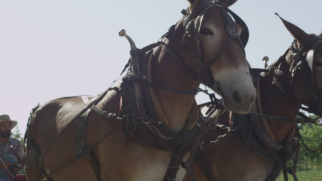 a pair of mules are harnessed to a plow. - mule stock videos & royalty-free footage