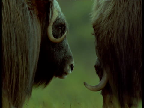 pair of musk oxen, one chews cud, alaska - 牛車点の映像素材/bロール