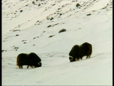 wa pair of musk oxen, ovibos moschatus, foraging in snow, arctic circle - foraging stock videos & royalty-free footage