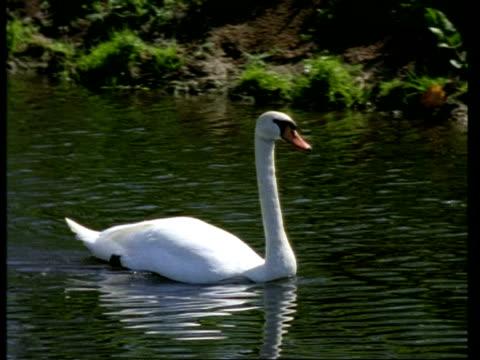 MS pair of Mute Swans, Cygnus olor, on river, United Kingdom