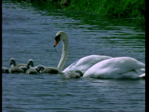 Pair of Mute Swans, Cygnus olor, with cygnets on river, adults dip for food, United Kingdom