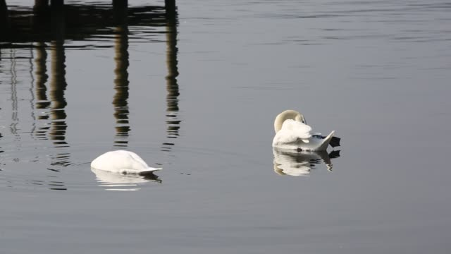 vidéos et rushes de a pair of mute swans feeding on lake windermere in the lake district, uk. - cygne tuberculé