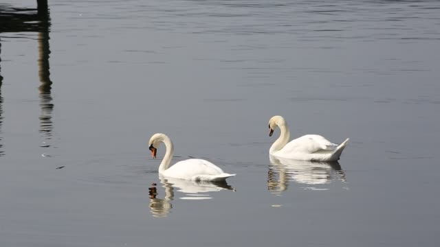 a pair of mute swans feeding on lake windermere in the lake district, uk. - mute swan stock videos & royalty-free footage